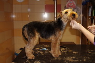 Welsh Terrier nyírott fazon